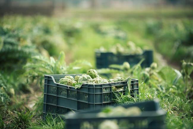 Plastikbehälter mit reifen Artischocken auf Gras während der Ernte am Sommertag auf der Plantage platziert — Stockfoto