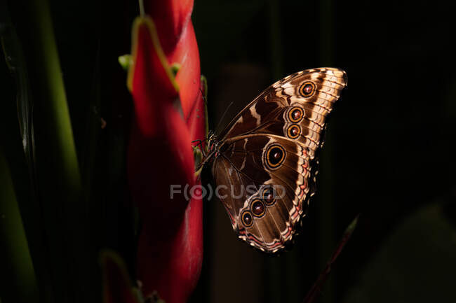 Closeup amazing brown butterfly sitting on green leaf in nature — Stock Photo
