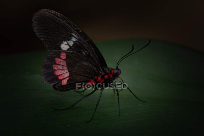 Closeup amazing black butterfly with red and white spots on wings sitting on green leaf in nature — Stock Photo