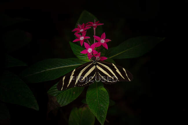 Top view of wonderful butterfly with striped wings sitting on green leaves near small flowers against black background in nature — Stock Photo