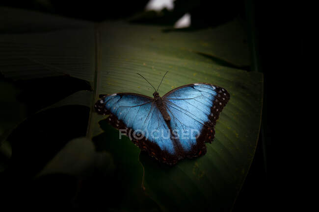 Top view of wonderful blue butterfly sitting on green leaves near small flowers against black background in nature — Stock Photo