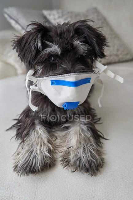 Bellissimo cucciolo schnauzer con maschera filtro virus — Foto stock