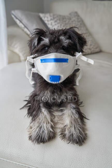 Schöner Schnauzerwelpe mit Virenfiltermaske — Stockfoto