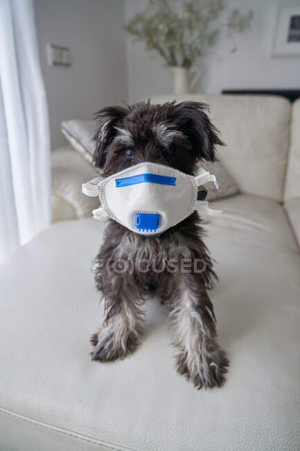 Beautiful schnauzer puppy with virus filter mask — Stock Photo