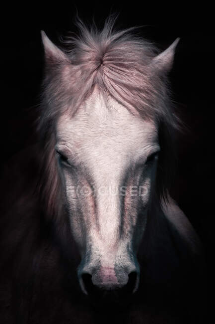 Closeup of muzzle of beautiful calm white horse looking at camera on black background — Stock Photo
