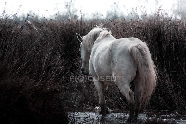 Tranquil white horse standing on water among high dry grass in swamp in spring day — Stock Photo