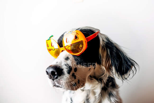 Cute English Setter in bright Halloween glasses looking away against white background — Stock Photo
