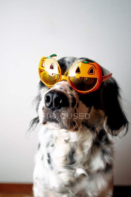 Cane maculato in occhiali di Halloween — Foto stock