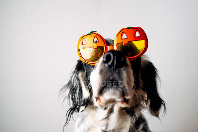 Spotted dog in Halloween glasses — Stock Photo