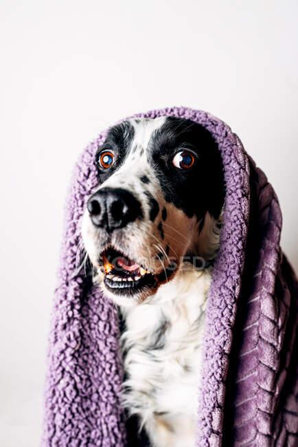 Cute dog under warm blanket — Stock Photo