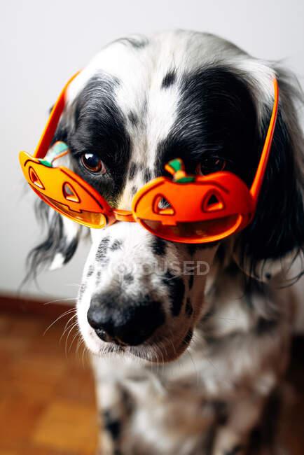 Gefleckter Hund in Halloween-Brille — Stockfoto