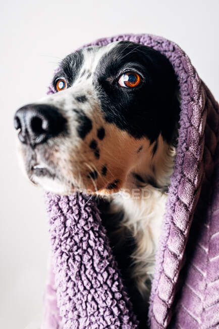 Cute dog under warm blanket — Stock Photo