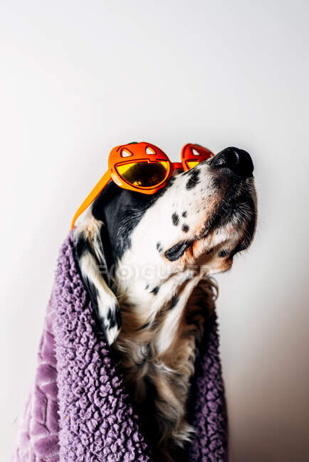 Lindo perro en gafas de Halloween bajo una manta caliente - foto de stock