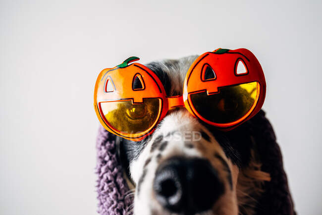 Cute dog in halloween glasses under warm blanket — Stock Photo