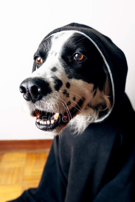Adorabile inglese Setter con cappuccio nero sdraiato sul pavimento a casa e guardando altrove — Foto stock