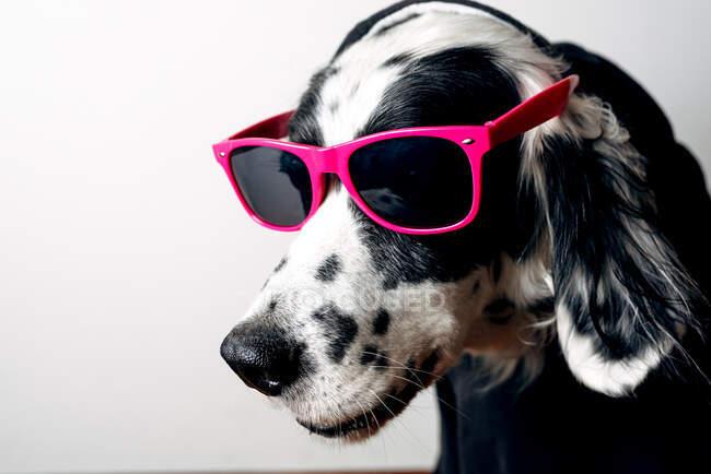 Mignon chien en sweat à capuche et lunettes de soleil — Photo de stock