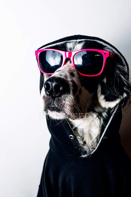 Cute dog in hoodie and sunglasses — Stock Photo