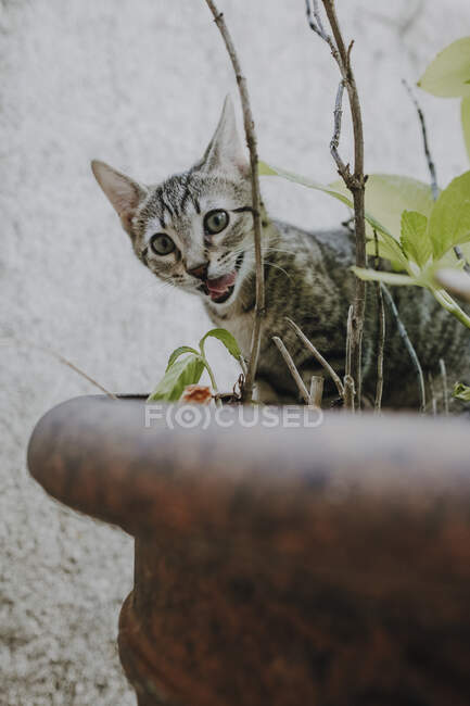 Cute little kitten licking muzzle and looking at camera while sitting in pot and eating plants — Stock Photo