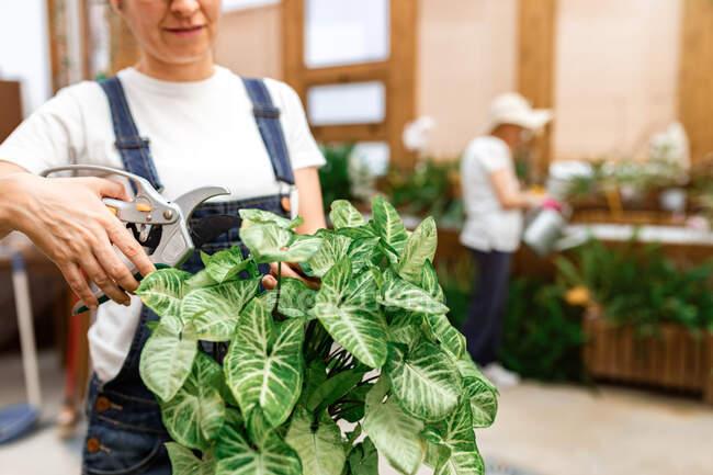 Ritagliato donna adulta irriconoscibile mani taglio foglie di pianta verde mentre si lavora in aranciata — Foto stock