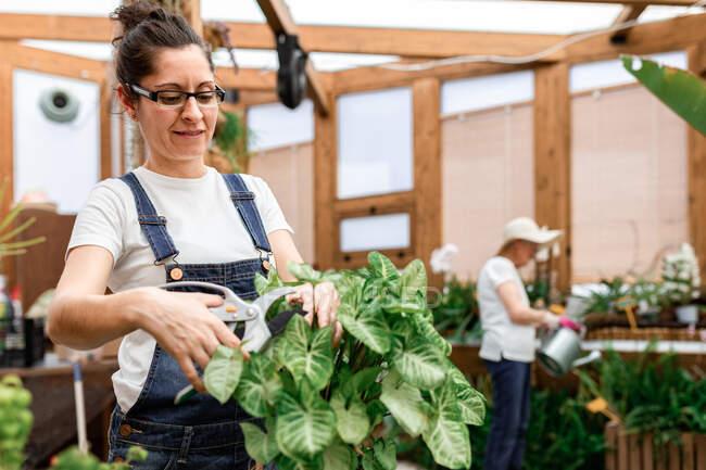 Donna adulta in bicchieri che sorride e taglia foglie di pianta verde mentre lavora in aranciera — Foto stock