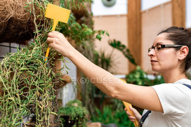 Adult lady putting blank label stick into soil with green plant during work in indoor garden — Stock Photo