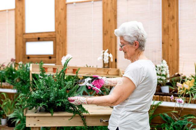 Vista laterale della donna anziana che sorride e taglia foglie di felce in vaso mentre lavora in serra — Foto stock