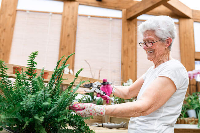 Side view of elderly woman smiling and cutting leaves of potted fern while working in hothouse — Stock Photo