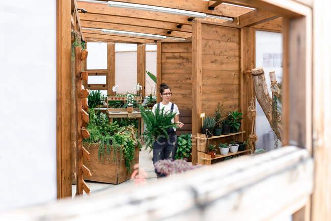 Femme heureuse adulte souriant regardant loin emportant la plante en pot tout en travaillant dans une serre en bois — Photo de stock