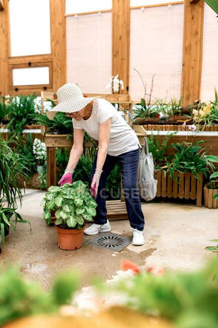 Pieno corpo signora anziana in cappello prendersi cura di pianta verde in vaso mentre si lavora in serra — Foto stock