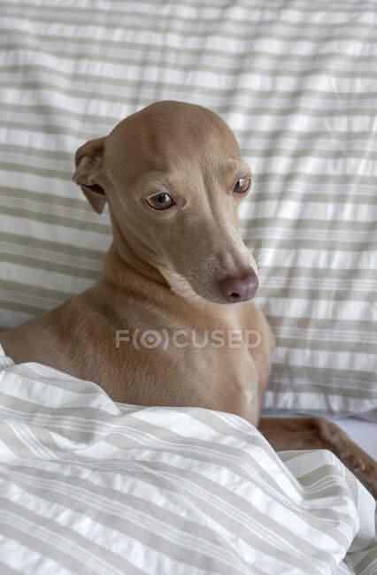 Purebred colored Isabela Italian greyhound dog playing on human bed — Stock Photo