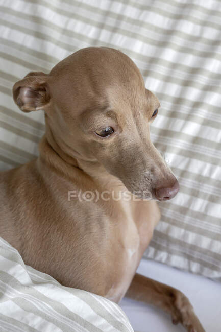 Purebred colored Isabela Italian greyhound dog playing on human bed — Stock Photo