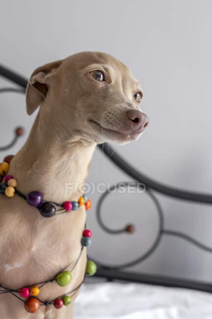 Чистая цветная Изабелла Итальянская борзая собака, играющая на человеческой кровати — стоковое фото