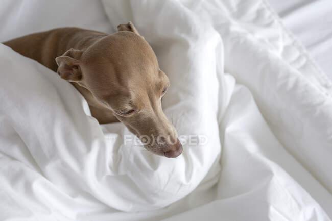 Chien lévrier italien Isabela de couleur pure jouant sur un lit humain — Photo de stock