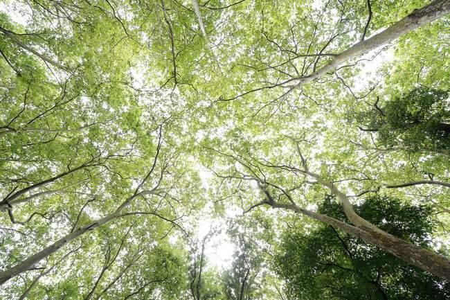 Dal basso di alti pini potenti con corone verdi su una foresta tranquilla silenzio — Foto stock