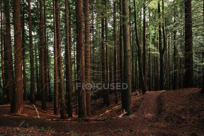 Big powerful pines trunks with green crowns on twigs on an silence peaceful forest with a dirt pathway — Stock Photo
