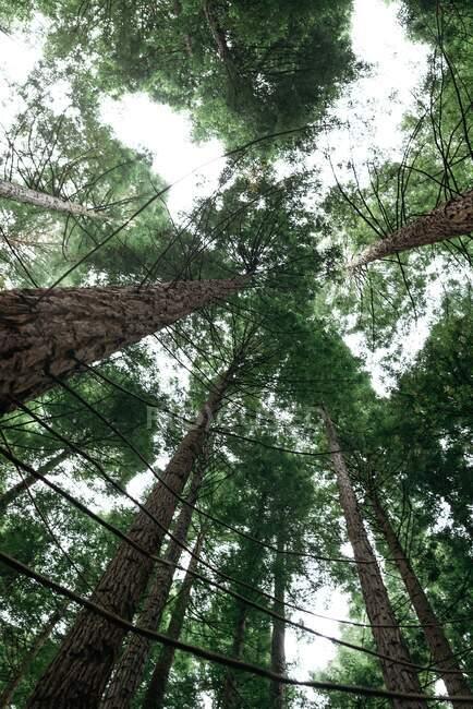 Из-под высоких мощных сосен деревьев с зелеными коронами на тихом тихом лесу — стоковое фото
