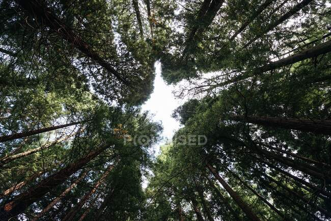 From below of high powerful pines trees with green crowns on an silence peaceful forest — Stock Photo