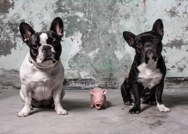 Obedient French Bulldogs sitting near tiny piglet and looking at camera against grungy concrete wall — Stock Photo