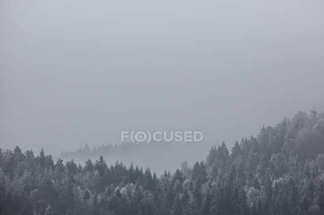 Cold winter landscape of hilly terrain with coniferous forest covered with hoarfrost in gloomy snowy day — Stock Photo
