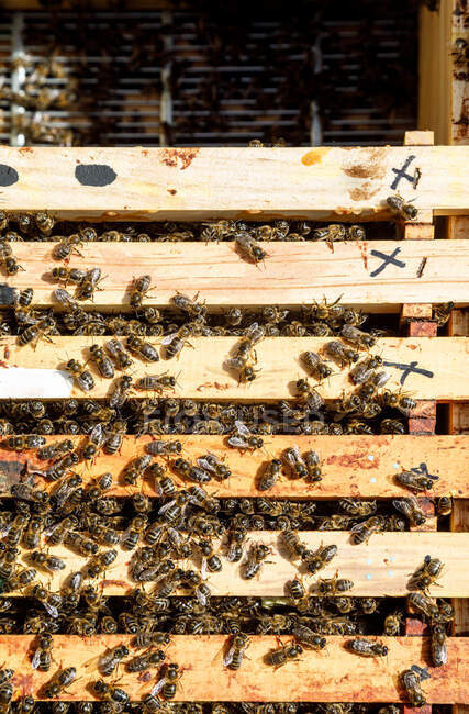 Honeycomb frame inside wooden box covered with bees during honey harvesting in apiary — Stock Photo