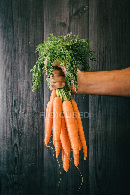 Unrecognizable person holding leaves and showing a bunch of healthy carrots against black lumber wall — Stock Photo