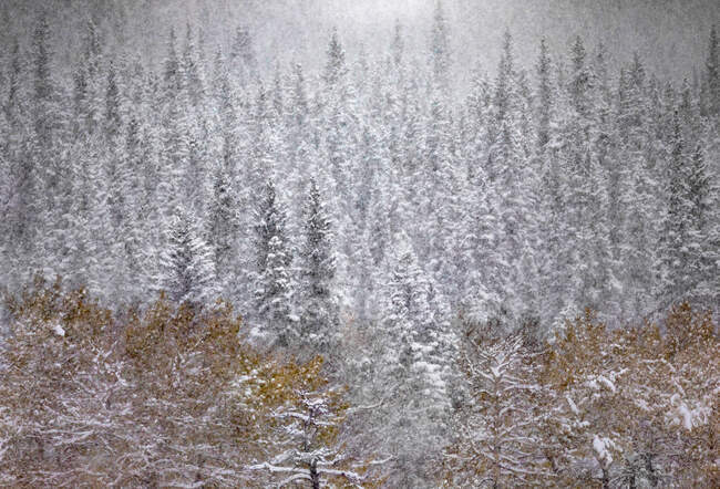 Tranquil Canadian winter scenery with snowfall in coniferous forest and field with yellow grass — Stock Photo