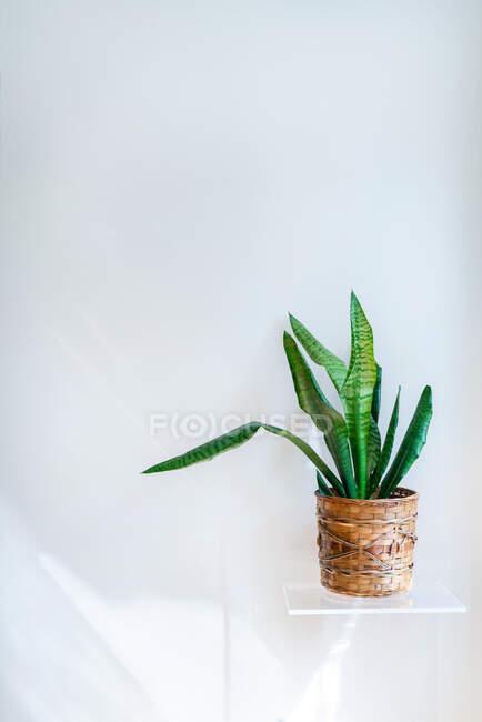 Pianta verde in vaso su mensola bianca su parete bianca — Foto stock