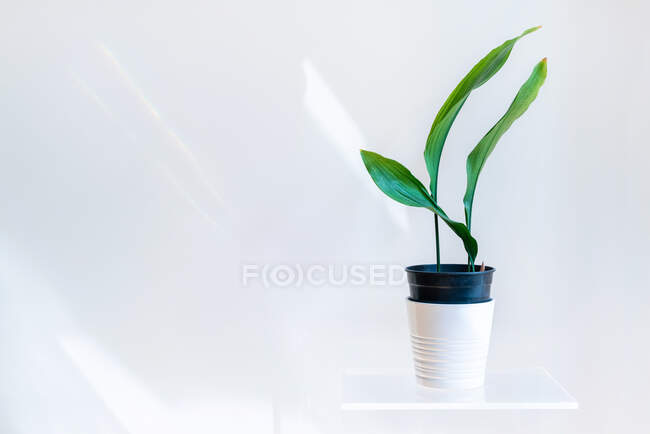 Green plant in pot on white shelf on white wall — Stock Photo