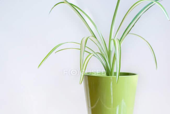 Pianta verde in vaso verde su fondo bianco — Foto stock