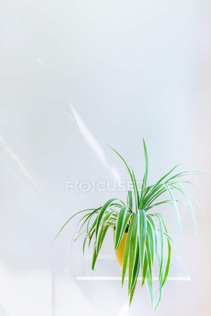 Plante verte en pot sur étagère blanche sur mur blanc — Photo de stock