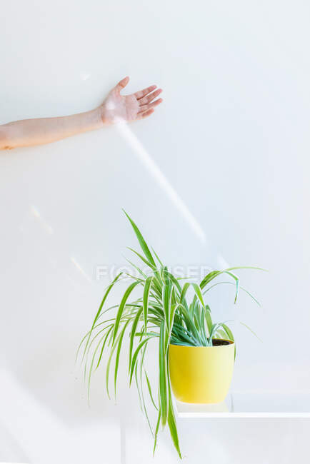 Hand catching sun and green plant in pot on white shelf on white wall — Stock Photo