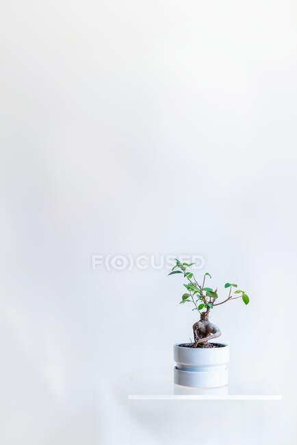 Зеленое растение в горшке на белой полке на белой стене — стоковое фото