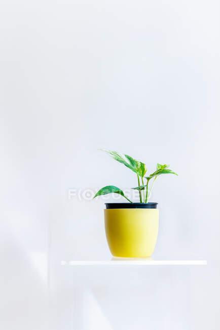 Green plant in pot on white shelf on white wall — Stock Photo