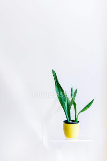 Зелена рослина в горщику на білій полиці. — стокове фото